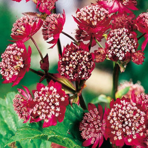 Plante Astrantia major Rubra - Astrantia