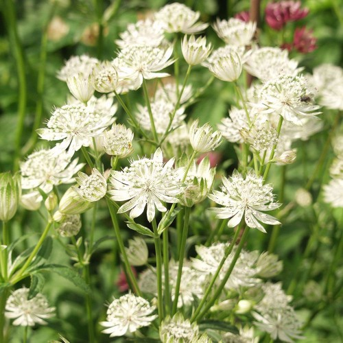 Plante Astrantia major White Giant - Astrantia