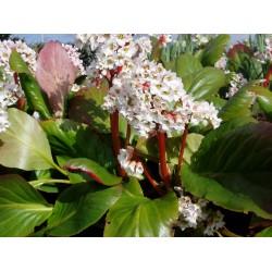 Plante Bergenia cordifolia Bressingham White - Urechi de elefant