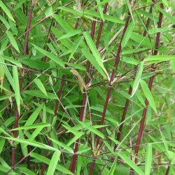 Plante Bambus - Fargesia mur. Jiuzhaigou - Bambus de gradina