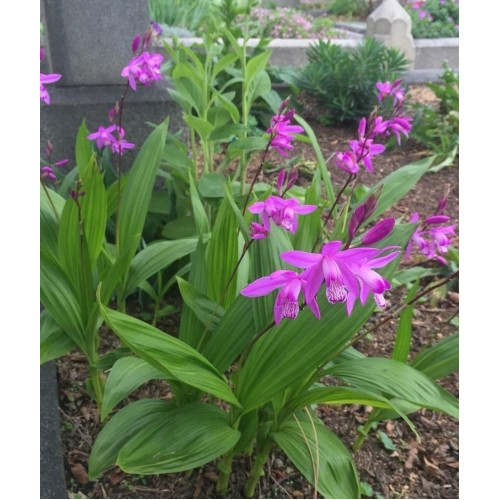 Plante Bletilla striata - Orhidee de gradina