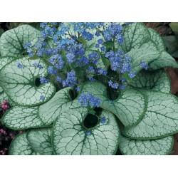 Plante Brunnera macrophylla Silver Heart  - Nu-Ma-Uita de Caucaz, Cununita