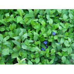 Plante Ceratostigma plumbaginoides