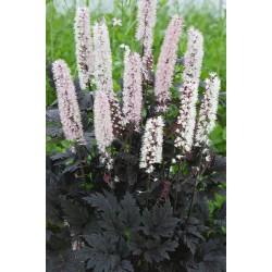 Plante Cimicifuga racemosa Chocoholic - Cosaș negru