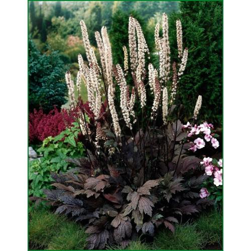 Plante Cimicifuga racemosa Atropurpurea - Cosaș negru