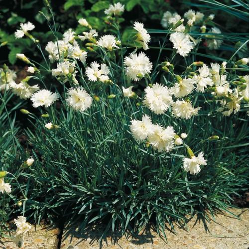 Plante Dianthus plumarius Albus Plenus - Garofite