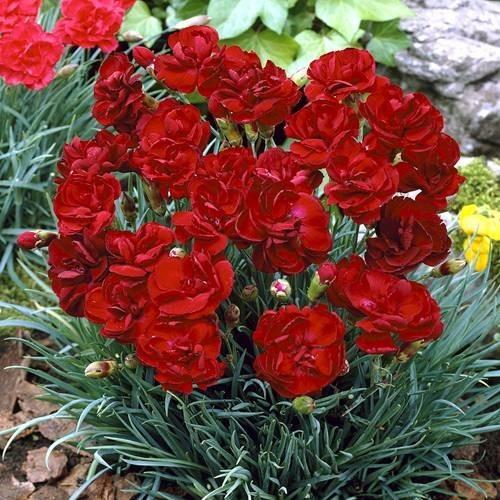 Plante Dianthus plumarius Desmond - Garofite