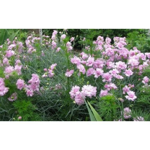 Plante Dianthus plumarius Rose - Garofita perena