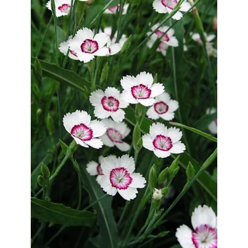 Plante Dianthus deltoides Artic Fire - garofita perena