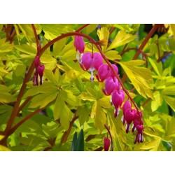 Plante Dicentra spectabilis Goldheart - Lacrimile Maicii Domnului