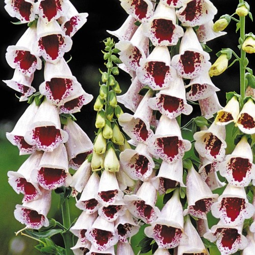 Plante Digitalis purpurea Pam's Choice - Degegel