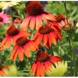 Plante Echinacea purpurea Cheyenne Spirit-Echinacea