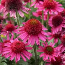 Plante Echinacea purpurea Delicious Candy - Echinacea