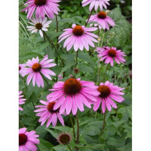 Plante Echinacea purpurea Magnus - Echinacea