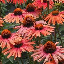 Plante Echinacea purpurea Mama Mia - Echinacea