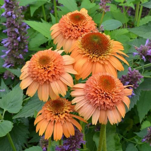 Plante Echinacea purpurea Supreme Cantaloupe - Echinacea