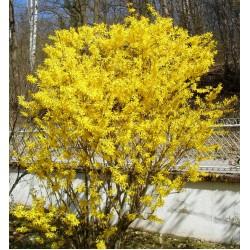 Plante Forsythia intermedia - Ploaie de aur
