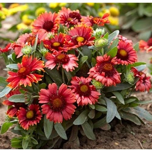Plante Gaillardia Arizona Red Shades - fluturasi
