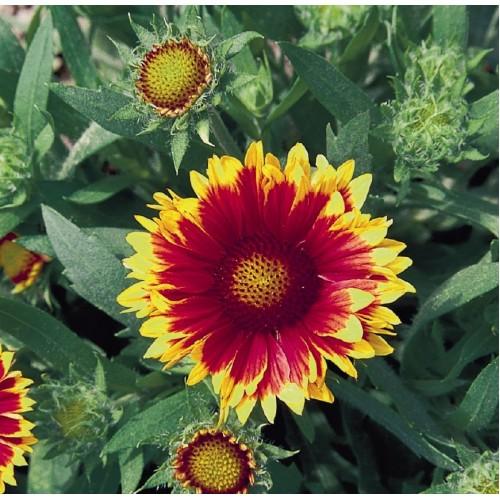 Plante Gaillardia Arizona Sun - fluturasi