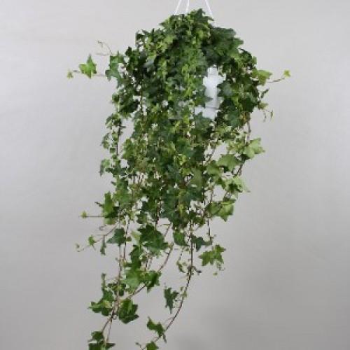 Plante Hedera canariensis - Iedera pitica