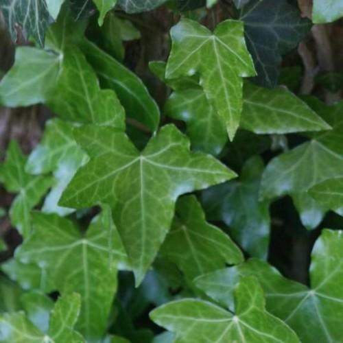 Plante Hedera helix - Iedera urcatoare