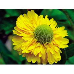 Plante Helenium Double Trouble - Floarea Elenei