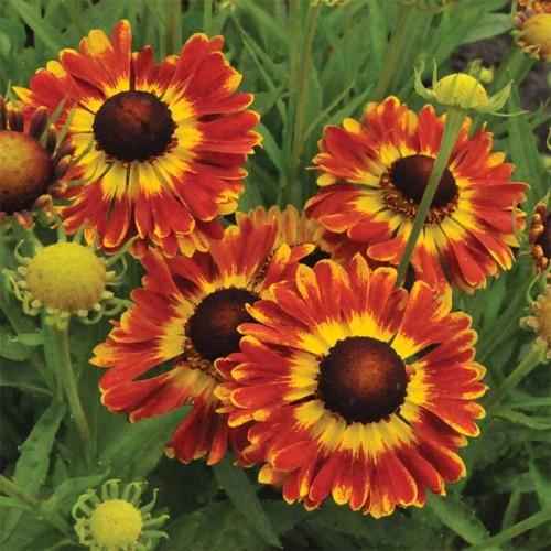 Plante Helenium Fuego - Floarea Elenei