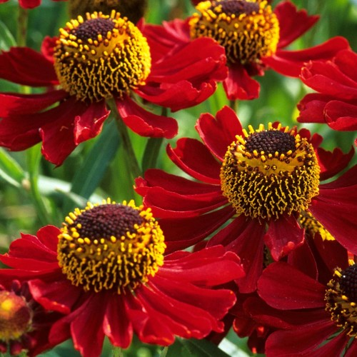 Plante Helenium autumnale Rubinzwerg - Floarea Elenei