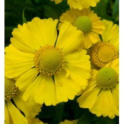Plante Helenium Kanaria - Floarea Elenei