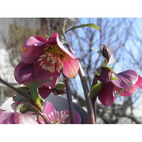 Plante Helleborus Atrorubens - Spanz timpuriu