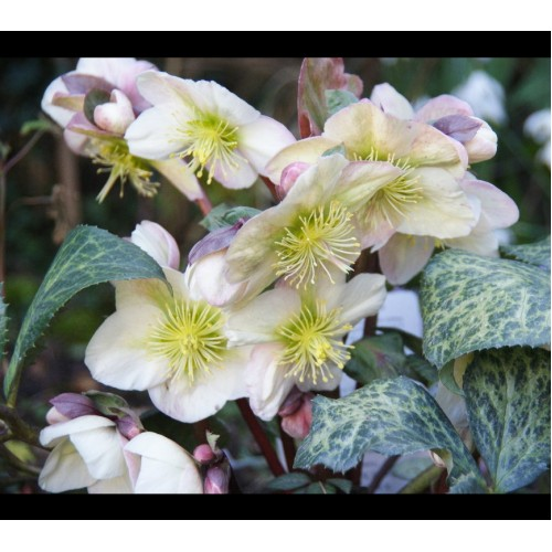 Plante Helleborus ericsmithii Winter Moonbeam - Spanz