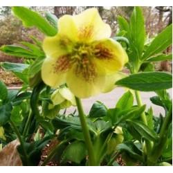 Plante Helleborus orientallis Yellow Lady - Spanz