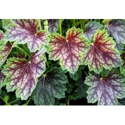 Plante Heuchera Beauty Colour - Heuchera