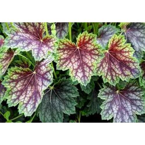 Plante Heuchera Beauty Colour - Heuchera