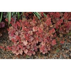 Plante Heuchera Cherry Cola - Heuchera