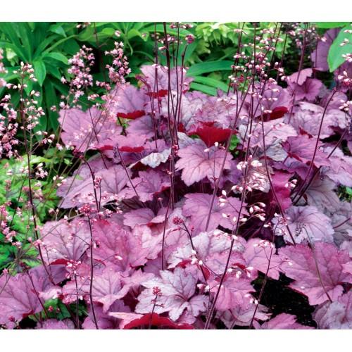 Plante Heuchera Georgia Plum - Heuchera