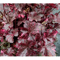 Plante Heuchera Midnight Rose - Heuchera