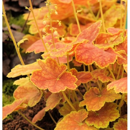 Plante Heuchera Tiramisu - Heuchera