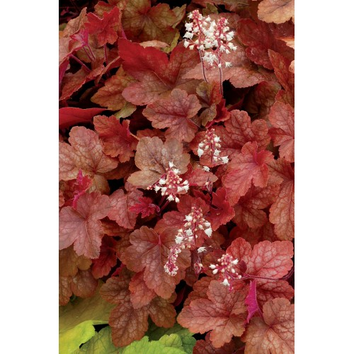 Plante Heucherella Redstone Falls - Heuchera