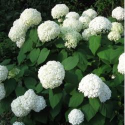 Plante Hortensia - Hydrangea arborescens - Annabelle