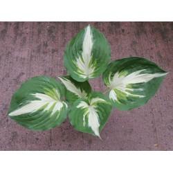 Plante Hosta Christmas Island - Crin de toamna