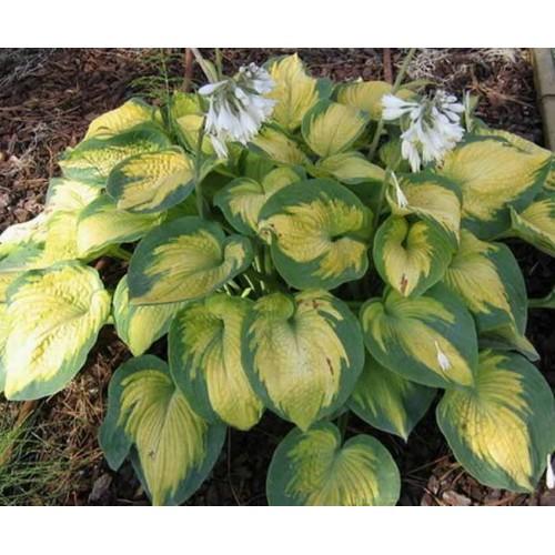 Plante Hosta Color Glory - Crin de toamna