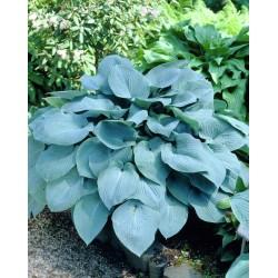 Plante Hosta Fragrant Blue - Crin de toamna