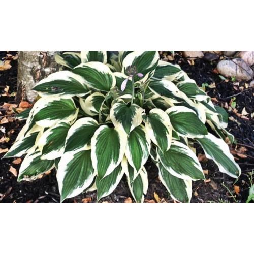 Plante Hosta Minuteman - Crin de toamna