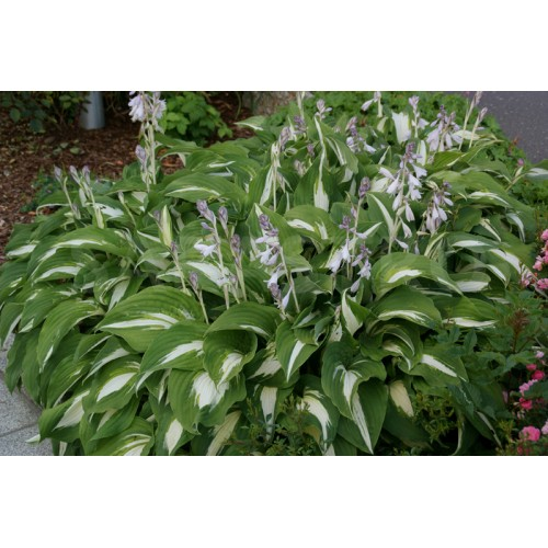 Plante Hosta Night Before Christmas - Crin de toamna