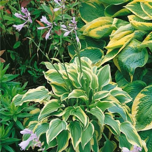 Plante Hosta Pilgrim - Crin de toamna