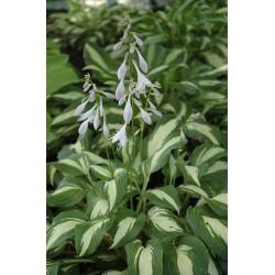Plante Hosta Undulata Univittata - Crin de toamna