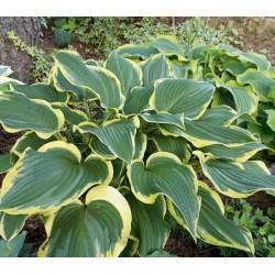 Plante Hosta Yellow River - Crin de toamna