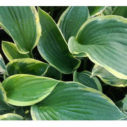 Plante Hosta Aureomarginata - Crin de toamna