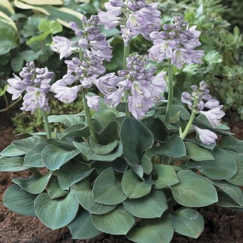 Plante Hosta Blue Mouse Ears - Crin de toamna